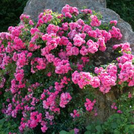 'Flower Carpet Pink' Ground Cover Rose - 4L Pot