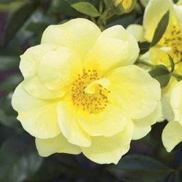 Flower Carpet Gold' Ground Cover Rose - 4L Pot