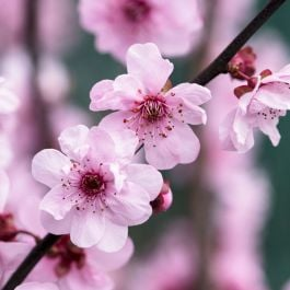 4ft Flowering Plum Tree | Bare Root | Prunus X Blireana
