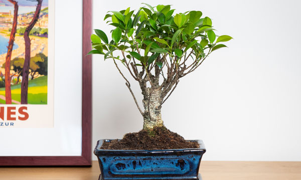bonsai fig