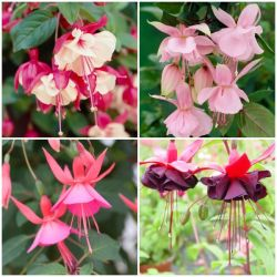 60 x Fun Fuchsia Collection | Hand-Picked Jumbo Plug Plants