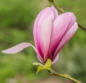 5ft 'Galaxy' Pink Magnolia Tree | 12L Pot | By Frank P Matthews