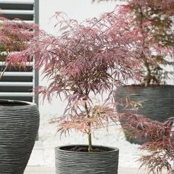 3ft Garnet Acer Tree | 7.5L Pot | Acer Palmatum