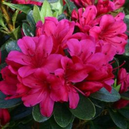 1ft Evergreen Azalea 'Geisha Red' |3L Pot | Azelea japonica
