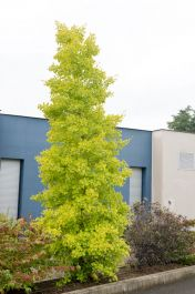 4ft 'Blagon' Maidenhair Tree | 7L Pot | Ginkgo biloba 'Blagon' | By Frank P Matthews™