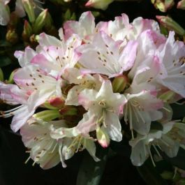 1ft Dwarf Rhododendron 'Ginny Gee' | 3L Pot