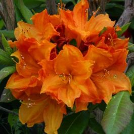 2ft Deciduous Azalea 'Glowing Embers' | 5L Pot