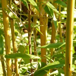 Pair of 5ft Golden Bamboo | 10L Pot | 'Phyllostachys Aurea'