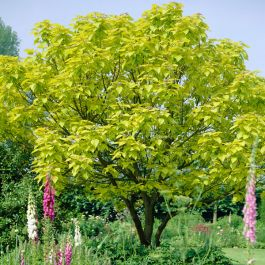 5ft Golden Indian Bean Tree | 9L Pot | 'Catalpa bignonioides Aurea'