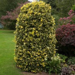 4ft 'Golden King' Holly Tree | Ilex x alt 'Golden King' | 7L Pot | By Frank P Matthews