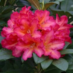 1ft Rhododendron 'Golden Gate' | 7.5L Pot | Compact Rhododendron