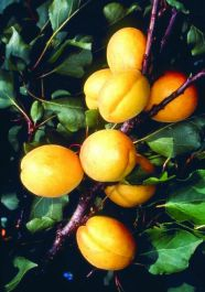 5ft 'Golden Glow' Apricot Tree | SJA Semi Vigorous Rootstock  | 7L Pot | By Frank P Matthews™