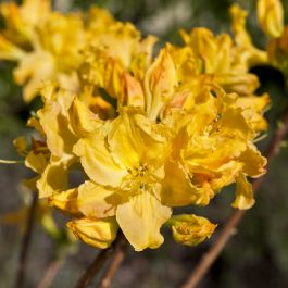 2ft Deciduous Azalea 'Golden Lights' | 5L Pot