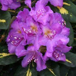 2ft Rhododendron 'Goldflimmer' | 7.5L Pot | Rhododendron Hybrid