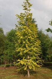 4ft 'Goldrush' Redwood Tree | Metasequoia gly 'Goldrush' | 12L Pot | By Frank P Matthews