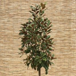 5ft Magnolia grandiflora 'Goliath' | 25L Pot