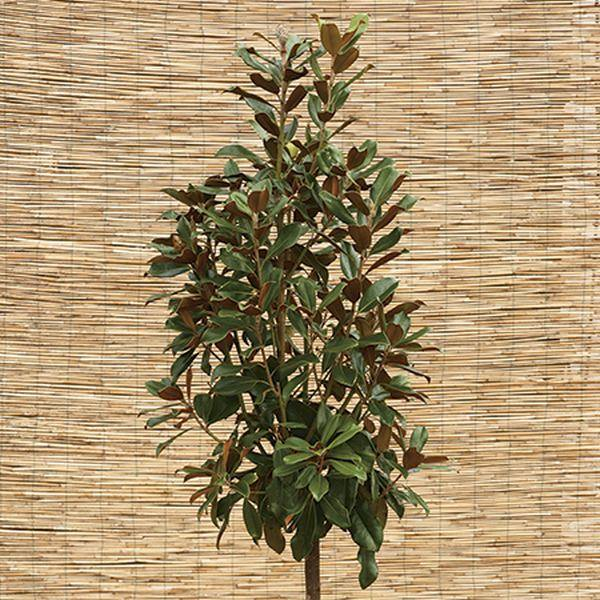 6ft Magnolia grandiflora 'Goliath' | 25L Pot