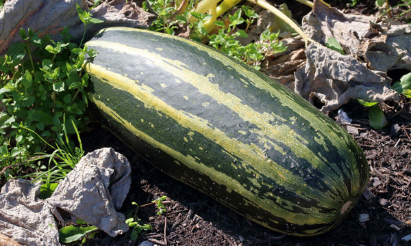 marrow fruit