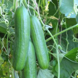Cucumber F1 Plant | 8.5cm Pot | By Gourmet Vegetables