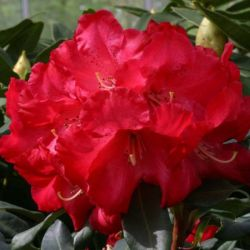 2ft Rhododendron 'Half Dan Lem' | 7.5L Pot | Rhododendron Hybrid