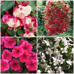 60 x Hanging Basket Plant Collection | Hand-Picked Jumbo Plug Plants
