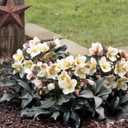 2ft Helleborus 'Malary' | 4.5L Pot | By Helleborus Gold Collection