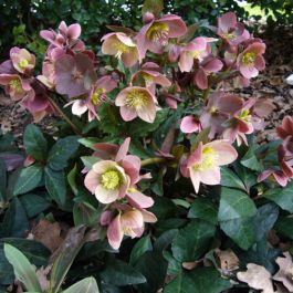 2ft Helleborus 'Merlin' | 4.5L Pot | By Helleborus Gold Collection