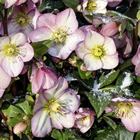 2ft Helleborus 'Ice N' Roses Rose' | 4.5L Pot | By Helleborus Gold Collection
