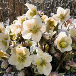2ft Helleborus 'Shooting Star' | 4.5L Pot | By Helleborus Gold Collection