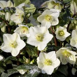 2ft Helleborus 'Ice N' Roses White' | 4.5L Pot | By Helleborus Gold Collection