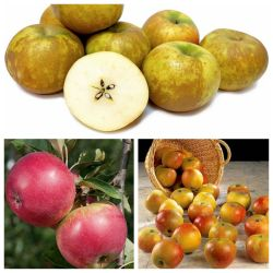 5ft 'Historic Apple Tree Collection - 3 x 5ft 'Apple Trees