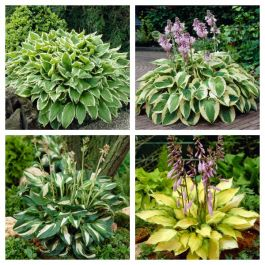 8 x Hosta Plants | Striking Greenery Collection | | 1L Pots