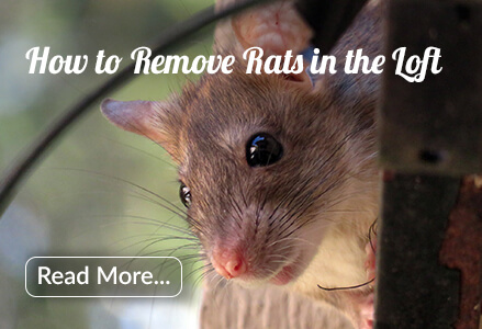 how to remove rats from loft guide