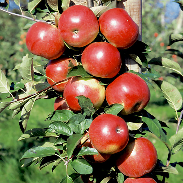 5ft 'Idared' Dessert Apple Tree | MM106 Semi Vigorous Rootstock | 9L Pot