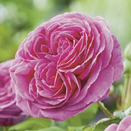 Madame Isaac Pereire' Shrub Rose - 5.5L Pot