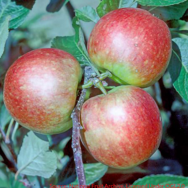 5ft 'James Grieve' Dessert Apple Tree | M26 Semi Dwarfing Rootstock | 9L Pot