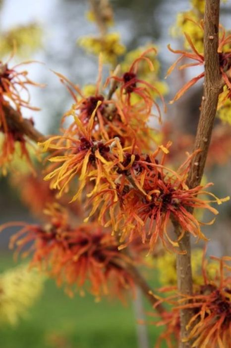 5ft Witch Hazel 'Jelena' Tree | 12L Pot | Hamamelis x int 'Jelena' | By Frank P Matthews™