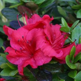 1ft Evergreen Azalea 'Johanna' |3L Pot | Azelea japonica