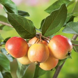 John Downie Crabapple Tree | 9L Pot | Malus 'John Downie'