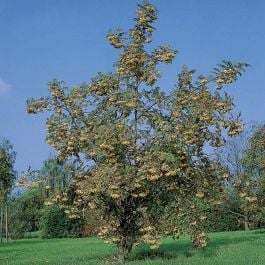 5ft Joseph Rock Mountain Ash Tree | 12L Pot | Sorbus 'Joseph Rock' | By Frank P Matthews™