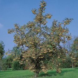 5ft Joseph Rock Mountain Ash Tree | 9L Pot | Sorbus 'Joseph Rock'