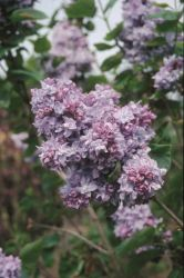 4ft 'Katherine Havemeyer' Lilac | 7L Pot | Syringa vul 'Katherine Havemeyer' | By Frank P Matthews™