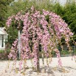 7ft 'Cheals Weeping' Cherry Blossom Tree | 18L Pot | Half Standard | 4 Years Old | Prunus 'Kiku-shidare-zakura'