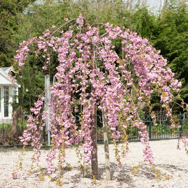 5ft Cheals Weeping Cherry Blossom Tree | Bare Root | Prunus Kiku-shidare-zakura