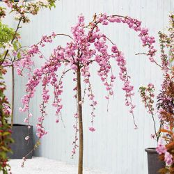 5ft Cheals Weeping Cherry Blossom Tree | 12L Pot | Prunus Kiku-shidare-zakura | By Frank P Matthews™