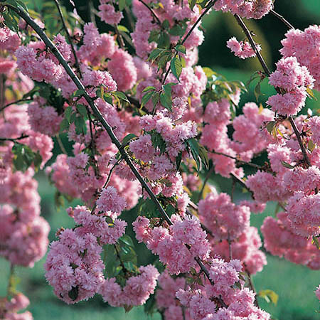 6ft Cheals Weeping Cherry Blossom Tree |30L Pot | Half Standard| 5 Years Old | Prunus Kiku-shidare-zakura