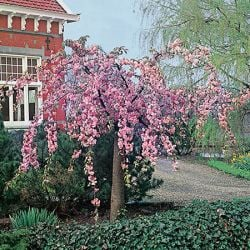 5ft Cheals Weeping Cherry Blossom Tree |9L Pot | Prunus Kiku-shidare-zakura