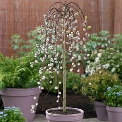 4ft Mature Kilmarnock Willow | 5L Pot | Salix caprea 'Kilmarnock'