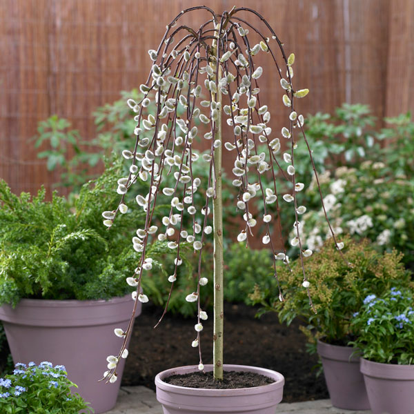 5ft Kilmarnock Willow Tree | 12L Pot | Salix caprea Pendula| By Frank P Matthews™