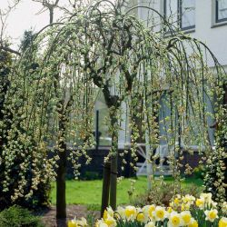 6ft Mature Kilmarnock Willow | 18L Pot | Salix caprea 'Kilmarnock'